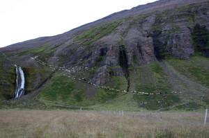 Féð kemur niður hjá Straumslæknum